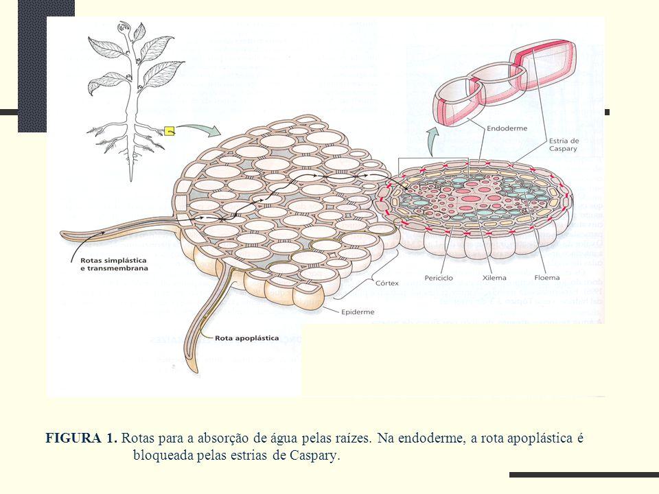 FIGURA 1. Rotas para a absorção de água pelas raízes. Na endoderme, a rota apoplástica é bloqueada pelas estrias de Caspary.