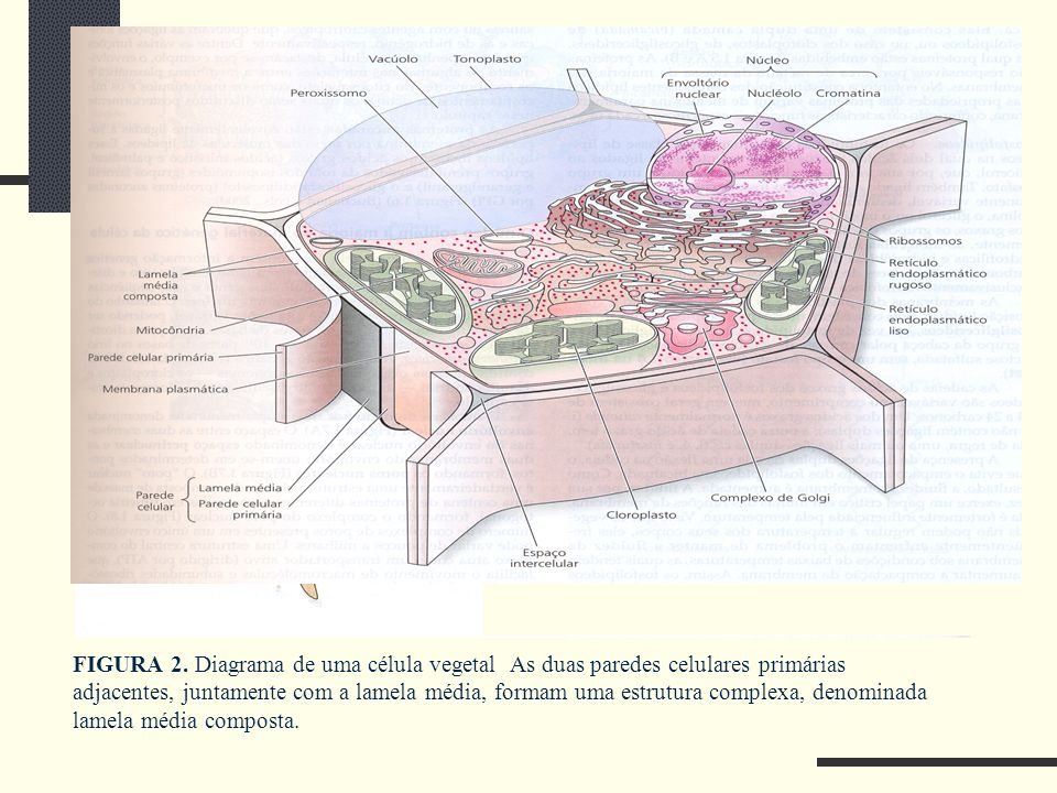 FIGURA 2. Diagrama de uma célula vegetal As duas paredes celulares primárias adjacentes, juntamente com a lamela média, formam uma estrutura complexa,