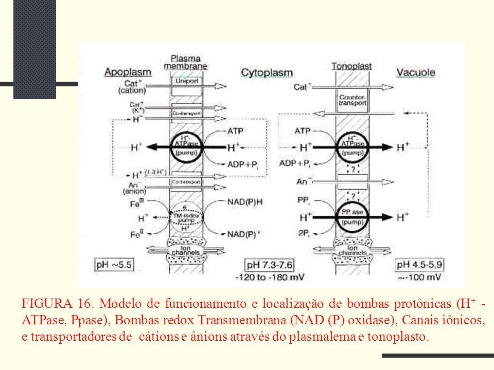 FIGURA 16. Modelo de funcionamento e localização de bombas protônicas (H + - ATPase, Ppase), Bombas redox Transmembrana (NAD (P) oxidase), Canais iôni