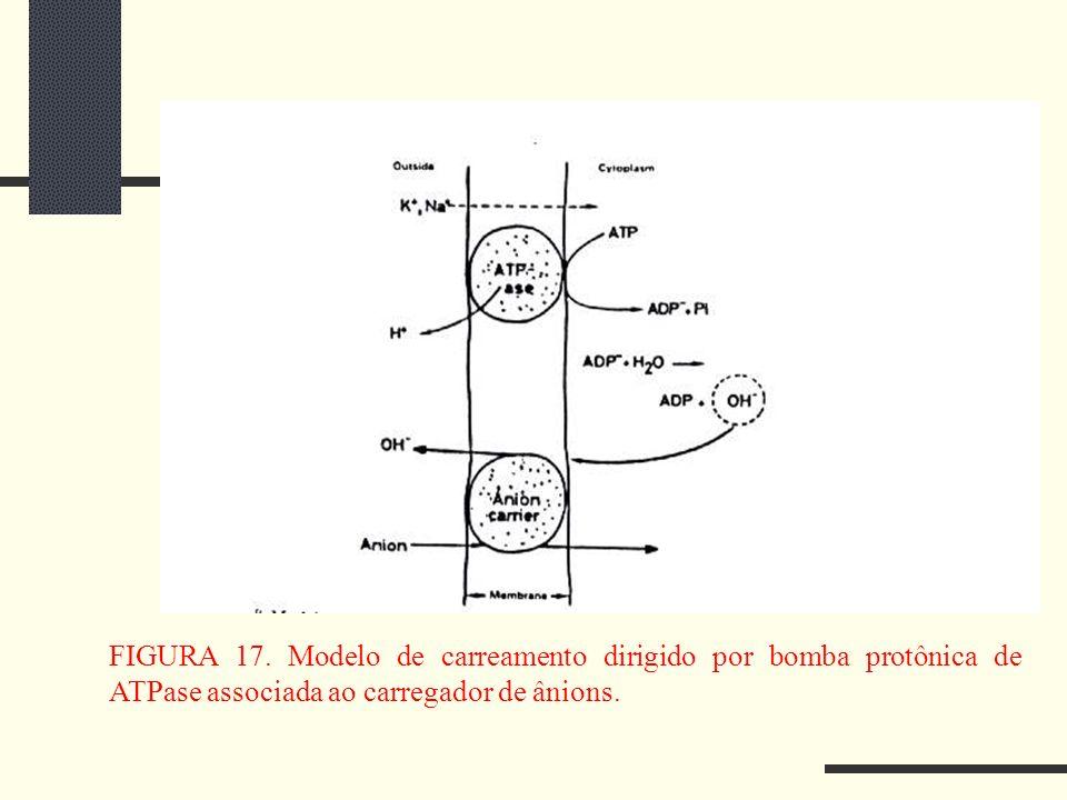 FIGURA 17. Modelo de carreamento dirigido por bomba protônica de ATPase associada ao carregador de ânions.