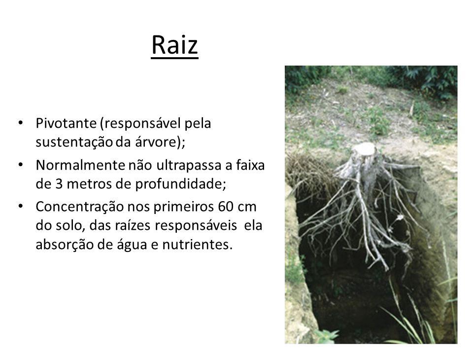 Raiz Pivotante (responsável pela sustentação da árvore); Normalmente não ultrapassa a faixa de 3 metros de profundidade; Concentração nos primeiros 60