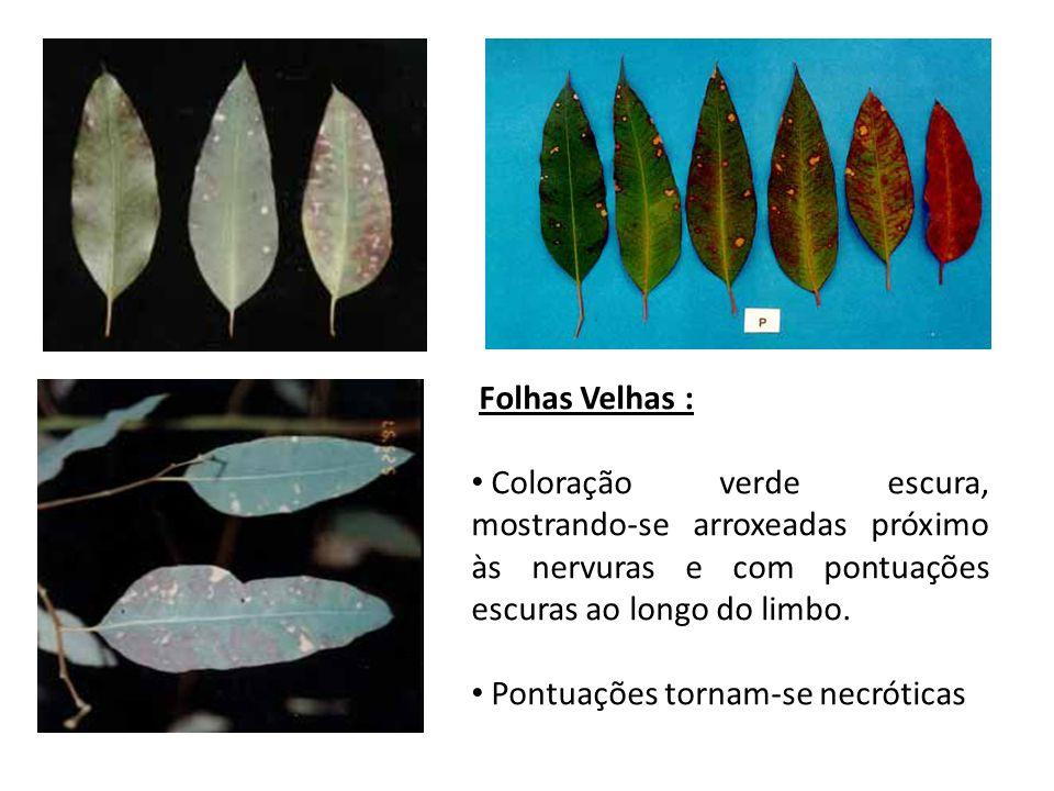 Folhas Velhas : Coloração verde escura, mostrando-se arroxeadas próximo às nervuras e com pontuações escuras ao longo do limbo. Pontuações tornam-se n