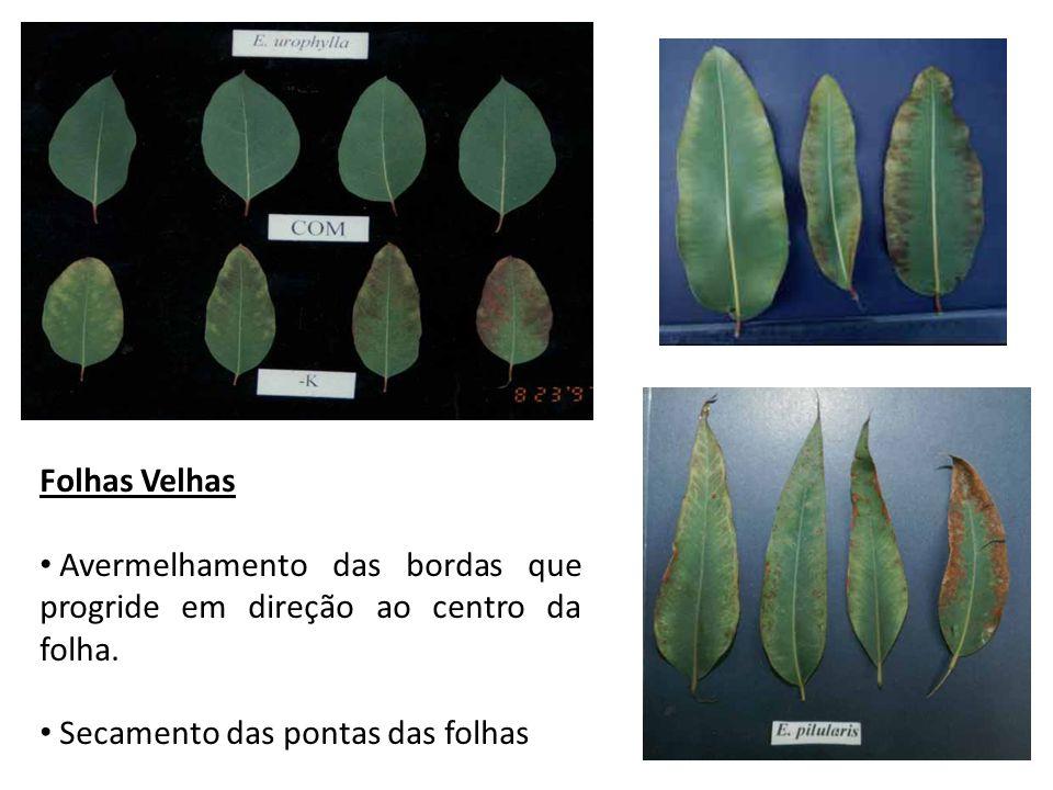Folhas Velhas Avermelhamento das bordas que progride em direção ao centro da folha. Secamento das pontas das folhas
