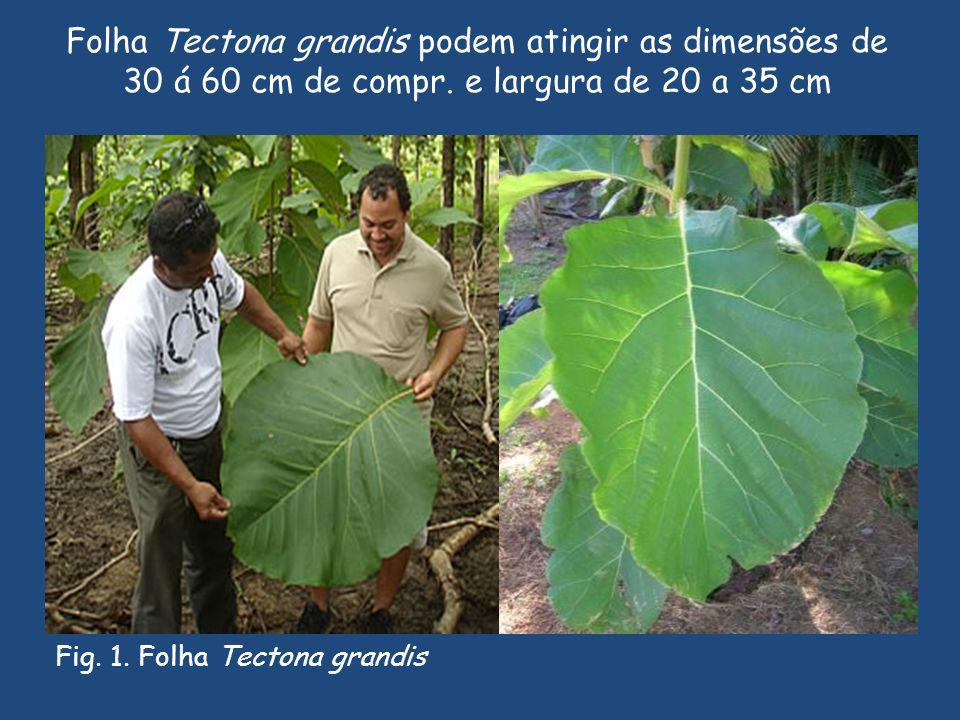 Folha Tectona grandis podem atingir as dimensões de 30 á 60 cm de compr.