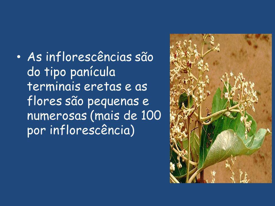 As inflorescências são do tipo panícula terminais eretas e as flores são pequenas e numerosas (mais de 100 por inflorescência)