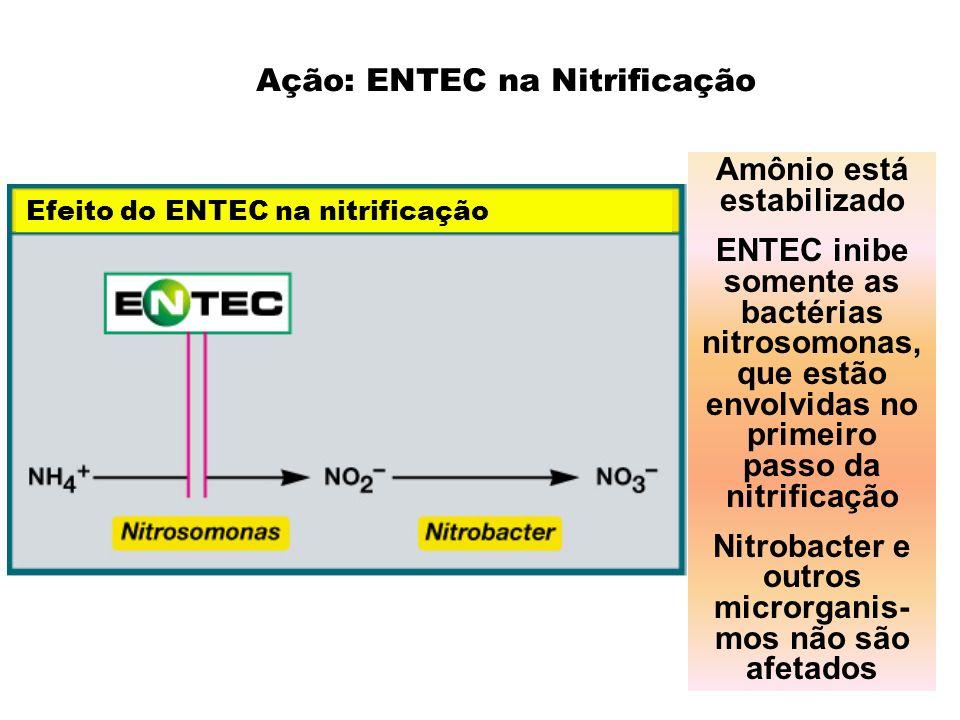 Efeito do ENTEC na nitrificação Amônio está estabilizado ENTEC inibe somente as bactérias nitrosomonas, que estão envolvidas no primeiro passo da nitr