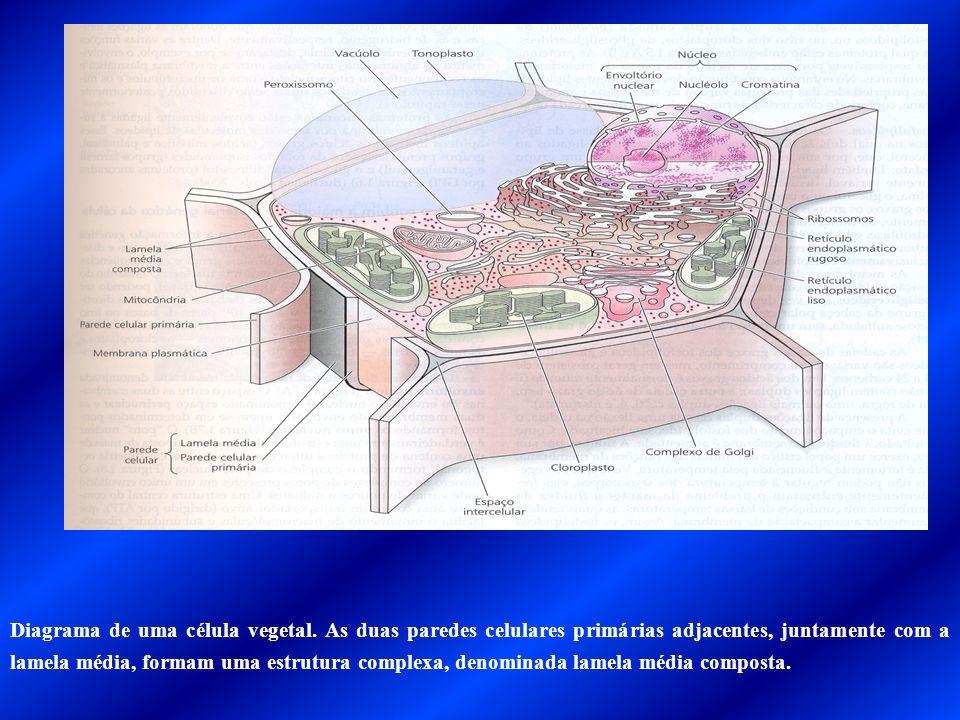 Diagrama de uma célula vegetal. As duas paredes celulares primárias adjacentes, juntamente com a lamela média, formam uma estrutura complexa, denomina