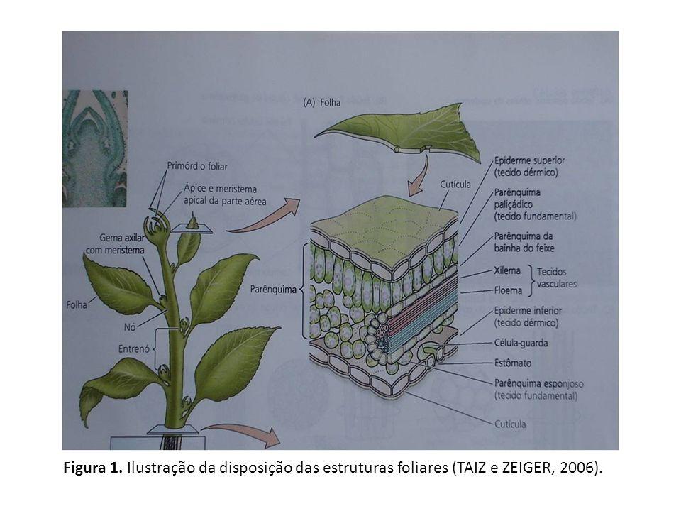 Figura 1. Ilustração da disposição das estruturas foliares (TAIZ e ZEIGER, 2006).