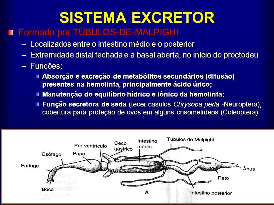 SISTEMA EXCRETOR Formado por TÚBULOS-DE-MALPIGHI –Localizados entre o intestino médio e o posterior –Extremidade distal fechada e a basal aberta, no i