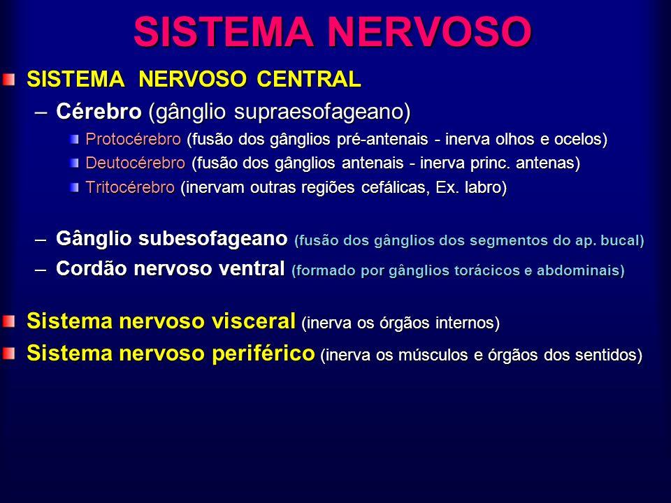 SISTEMA NERVOSO SISTEMA NERVOSO CENTRAL –Cérebro (gânglio supraesofageano) Protocérebro (fusão dos gânglios pré-antenais - inerva olhos e ocelos) Deut