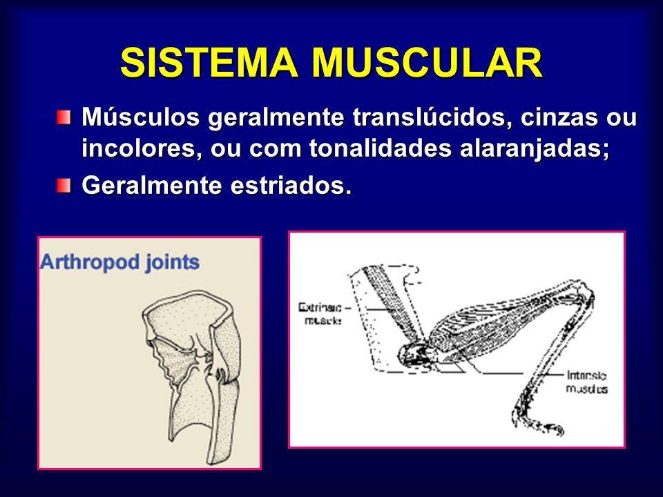 SISTEMA MUSCULAR Músculos geralmente translúcidos, cinzas ou incolores, ou com tonalidades alaranjadas; Geralmente estriados.