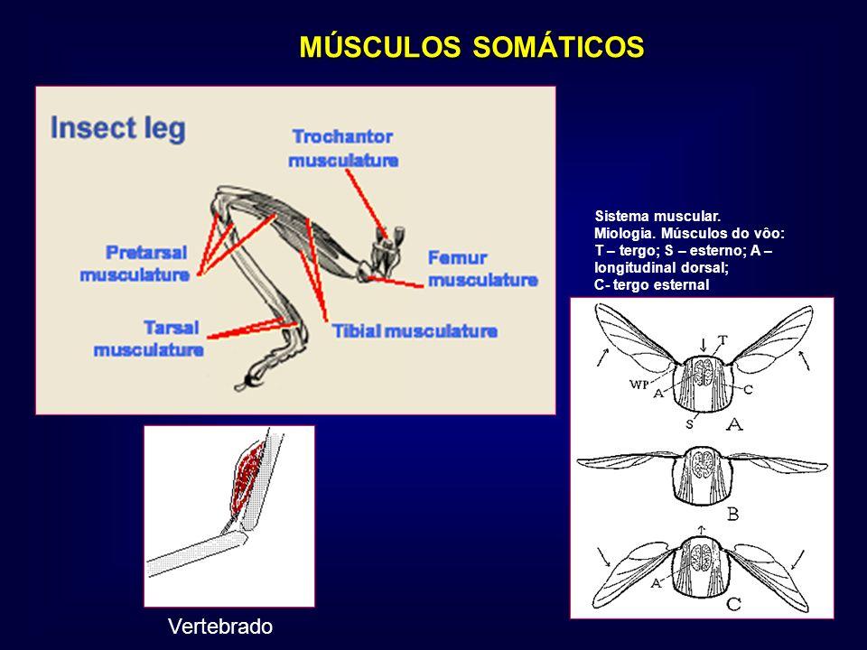 MÚSCULOS SOMÁTICOS MÚSCULOS SOMÁTICOS Vertebrado Sistema muscular. Miologia. Músculos do vôo: T – tergo; S – esterno; A – longitudinal dorsal; C- terg