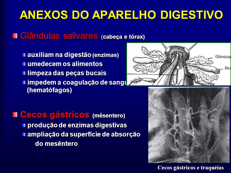 ANEXOS DO APARELHO DIGESTIVO Glândulas salivares (cabeça e tórax) Glândulas salivares (cabeça e tórax) auxiliam na digestão (enzimas) auxiliam na dige