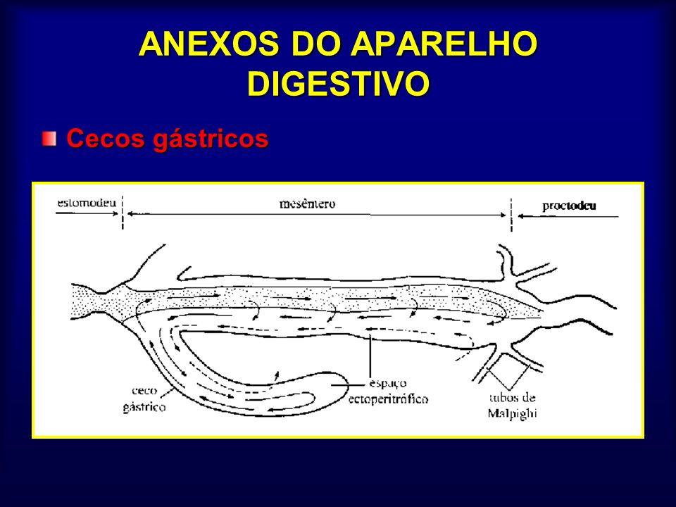 CLASSIFICAÇÃO ( número de espiráculos) APNÊUSTICOS – colêmbolos (oxigenação por difusão) OLIGOPNÊUSTICOS Propnêusticos - (1 par torácico)– pupa de mosquito Metapnêusticos –(1 par no último segmento)– larva de mosquito Anfipnêusticos –(pares anterior e posterior) larva de mosca POLIPNÊUSTICOS Hemipnêusticos - 1+7 – larvas neurópteros e coleópteros Peripnêusticos - 1+8 - lagartas Holopnêusticos - 2 + 8 – maioria dos adultos BRANQUIAL Brânquias traqueais (traqueobrânquias) Brânquias sanguíneas – raras (dipteros e tricópteros)
