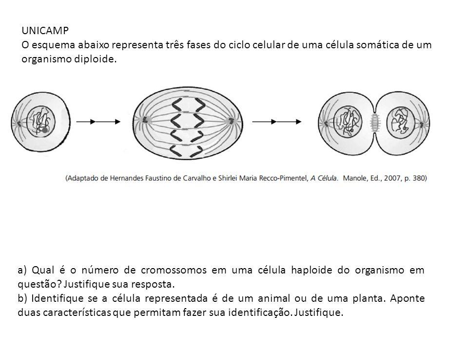 UNICAMP O esquema abaixo representa três fases do ciclo celular de uma célula somática de um organismo diploide. a) Qual é o número de cromossomos em