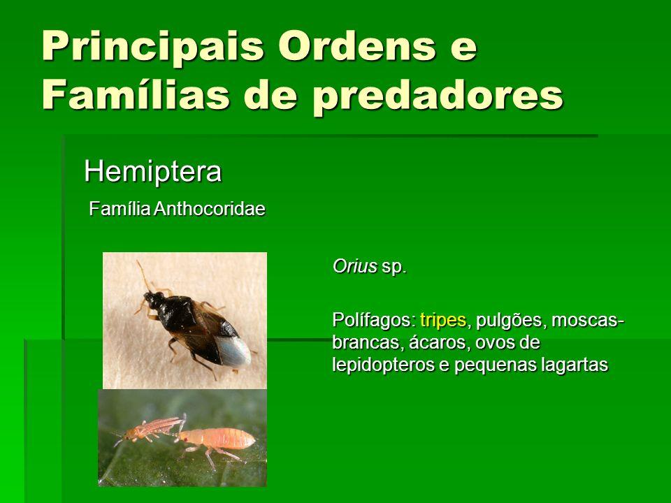 Principais Ordens e Famílias de predadores Hemiptera Família Anthocoridae Orius sp.