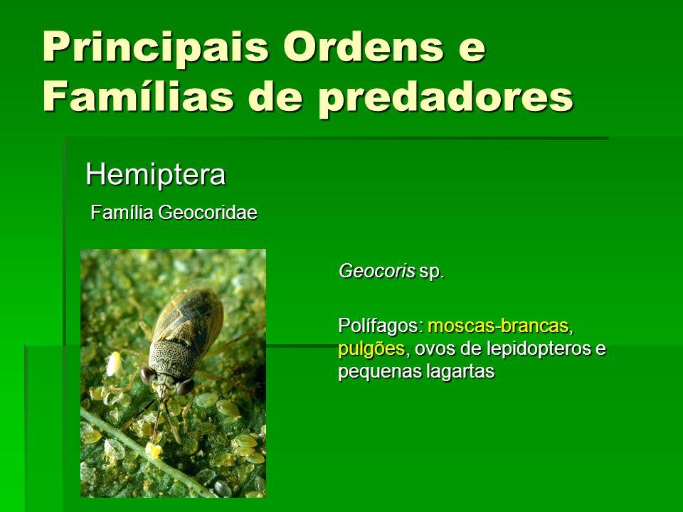 Principais Ordens e Famílias de predadores Hemiptera Família Geocoridae Geocoris sp.