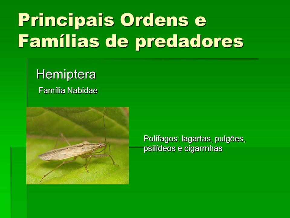 Principais Ordens e Famílias de predadores Hemiptera Família Nabidae Polífagos: lagartas, pulgões, psilídeos e cigarrnhas