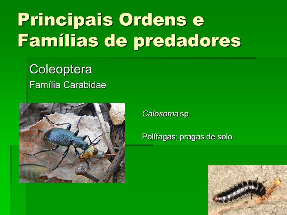 Principais Ordens e Famílias de predadores Coleoptera Família Carabidae Calosoma sp.