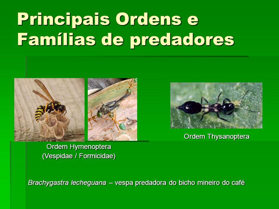 Principais Ordens e Famílias de predadores Ordem Thysanoptera Ordem Hymenoptera (Vespidae / Formicidae) Brachygastra lecheguana – vespa predadora do bicho mineiro do café