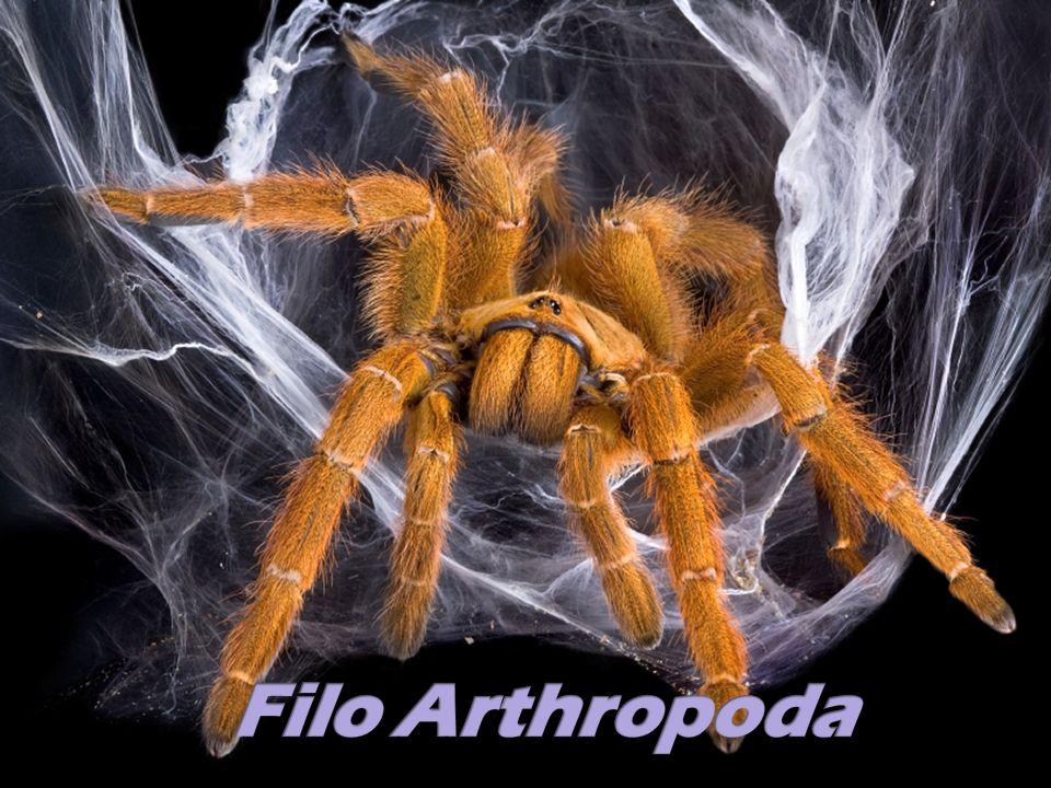 -Corpo metamerizado, simetria bilateral -Triblásticos, celomados, protostômios -Musculatura ligada ao exoesqueleto -Exoesqueleto quitinoso -Ecdise (muda) Sub-filos Uniramia (insetos e milípedes) Chelicerata (aracnídeos) Crustacea (aquáticos)