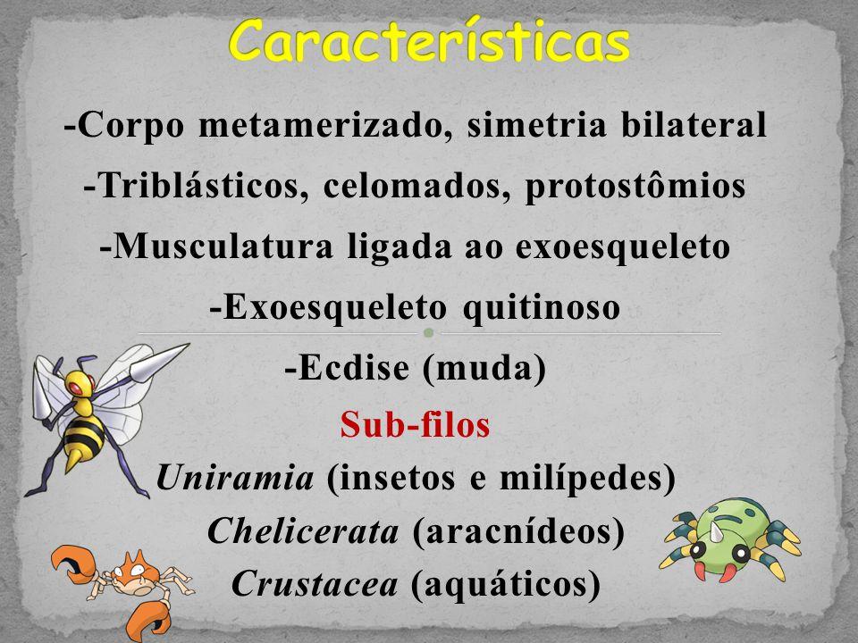 Formado por gânglios Insetos: Cérebro, Anel nervoso em volta do esôfago e cadeia ganglionar ventral Aracnídeos: Cérebro, Anel nervoso em volta do esôfago e cadeia ganglionar ventral Crustáceos: Gânglio cerebroide e cadeia ganglionar ventral
