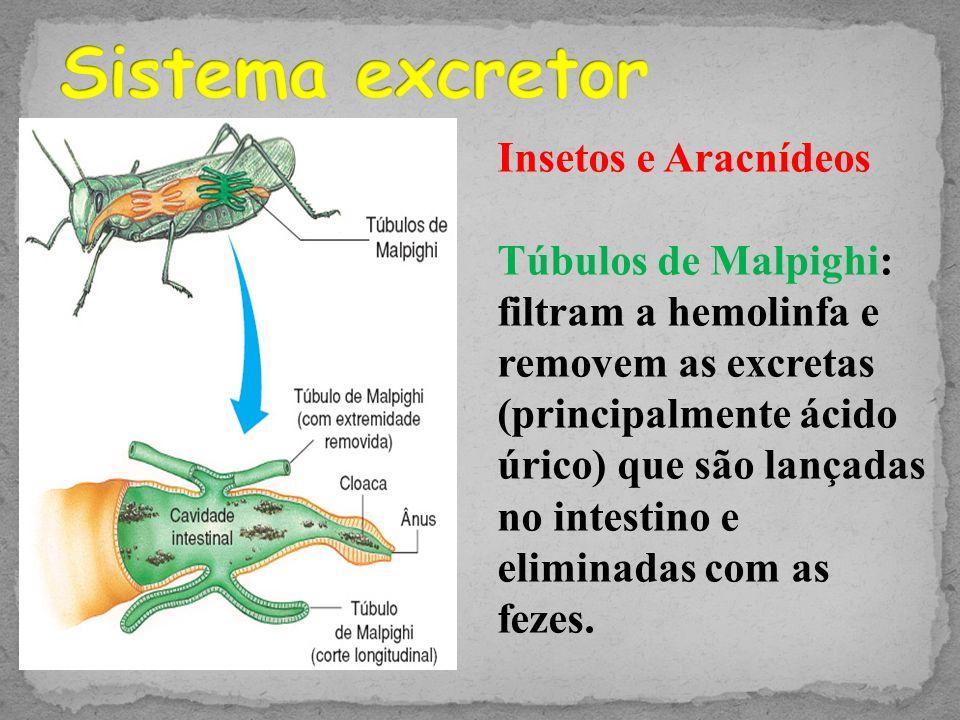 3 tipos de respiração: -Traqueal (insetos) -Fito traqueal ou Pulmão foliáceo (aracnídeos) -Branquial (crustáceos) Traqueal Fito traqueal Pulmão foliáceo Brânquia