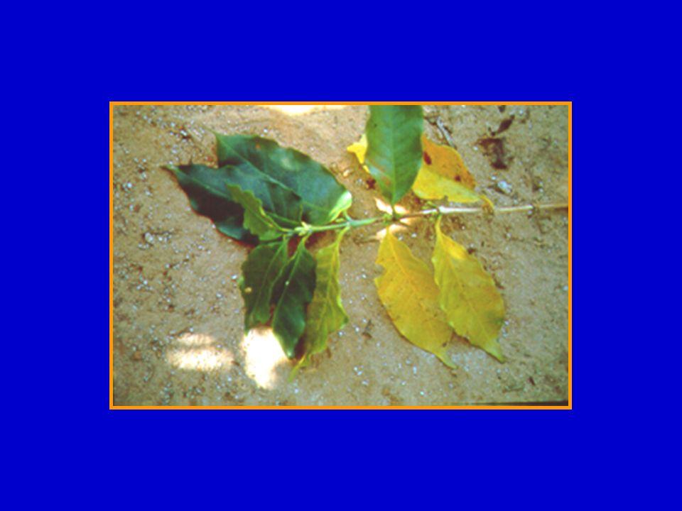 Localização na planta do B absorvido pelas folhas Parte da laranjeira30 Dias75 Dias120 Dias240 Dias ---------------------- % 1 ------------------ % Parte Nova00,30,42,5 % Parte Aplicada10099,799,496,8 % Parte Velha000,10,7 % Total Redistribuído00,30,53,2 1 Quantidade absorvida pelas folhas = 100% Boaretto & Maldonado (2007)