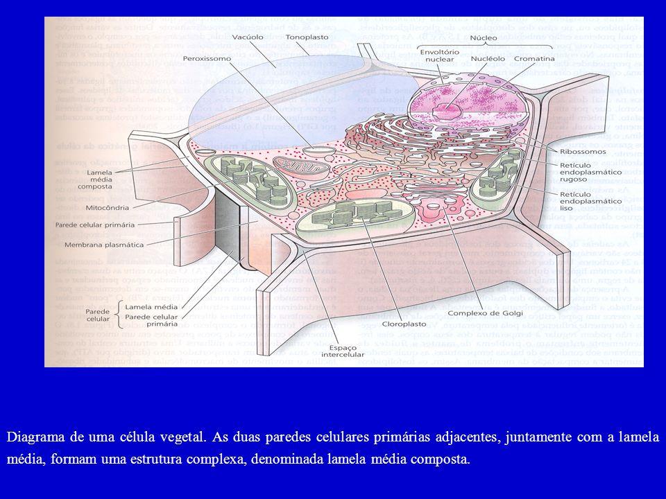 Trajetória da água pela folha. A água é puxada do xilema para as paredes celulares do mesofilo, de onde evapora para os espaços' intercelulares dentro