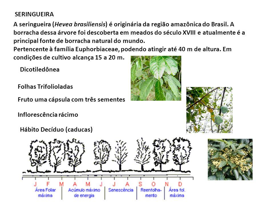 SERINGUEIRA A seringueira (Hevea brasiliensis) é originária da região amazônica do Brasil. A borracha dessa árvore foi descoberta em meados do século