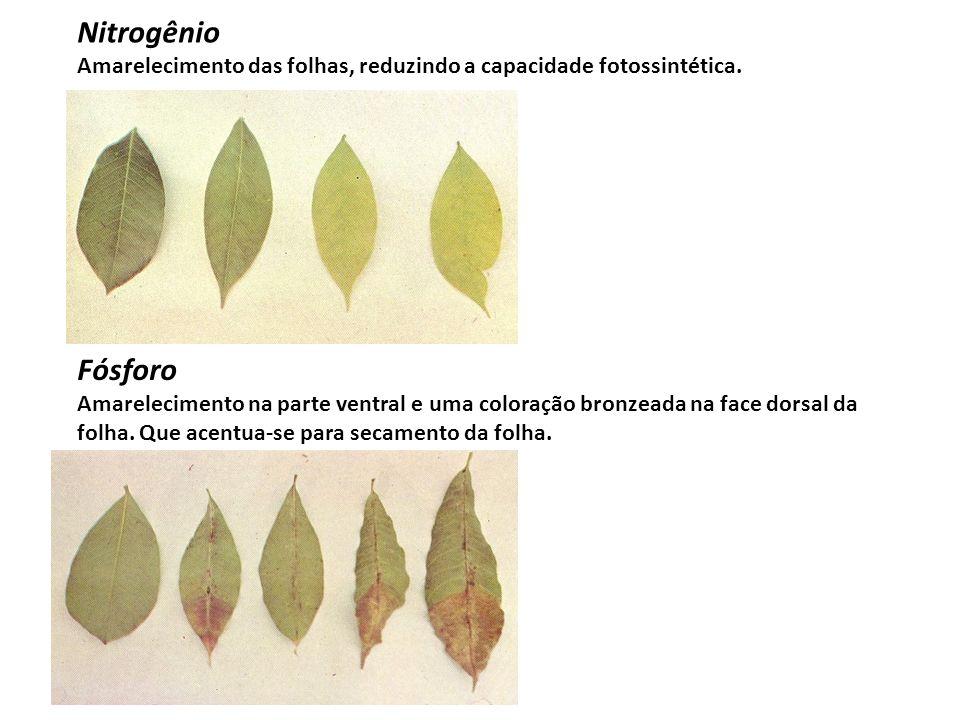 Nitrogênio Amarelecimento das folhas, reduzindo a capacidade fotossintética. Fósforo Amarelecimento na parte ventral e uma coloração bronzeada na face
