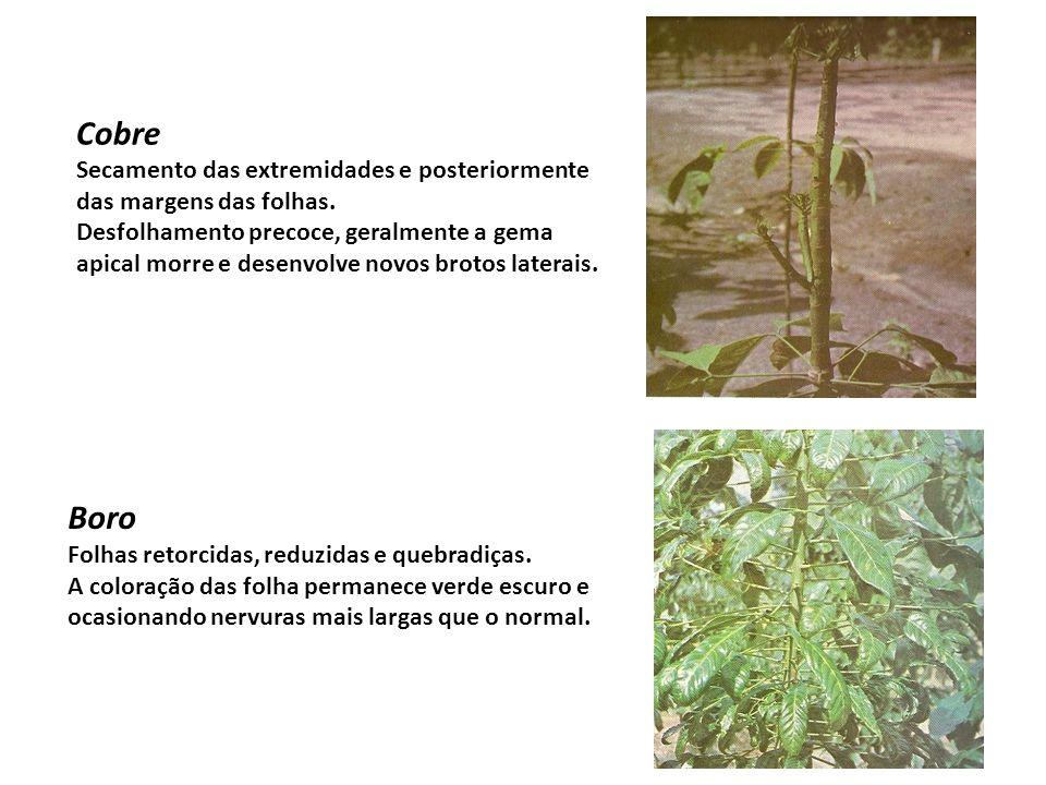 Cobre Secamento das extremidades e posteriormente das margens das folhas. Desfolhamento precoce, geralmente a gema apical morre e desenvolve novos bro