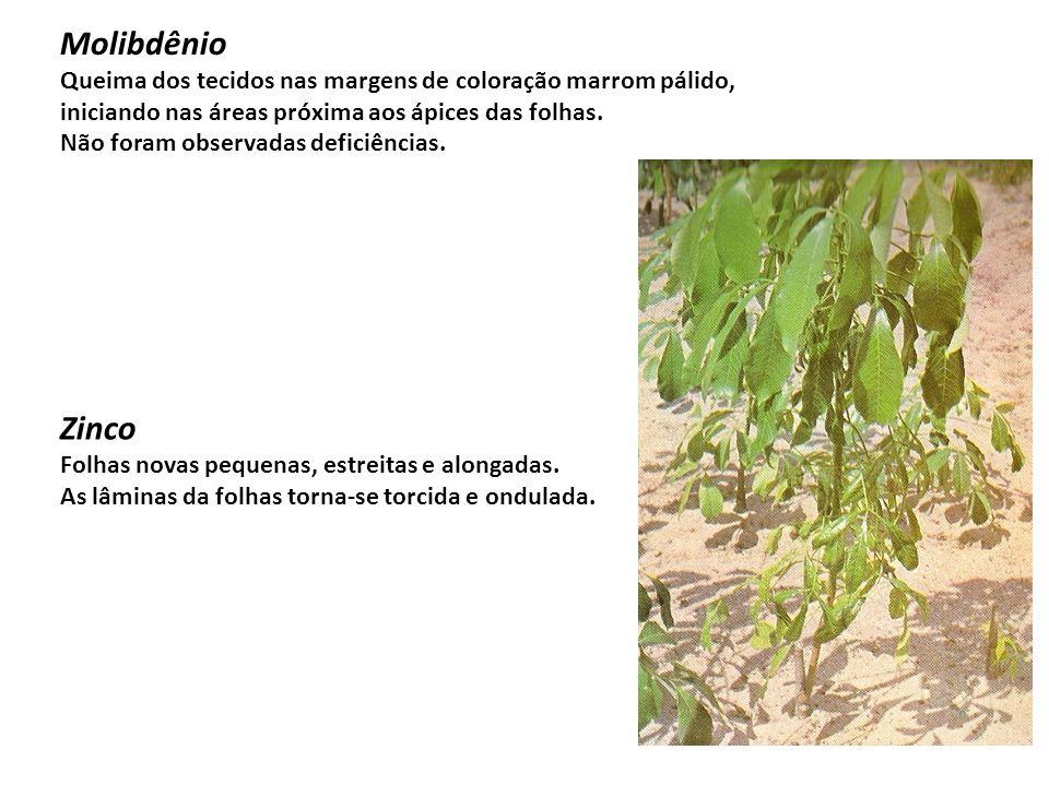 Molibdênio Queima dos tecidos nas margens de coloração marrom pálido, iniciando nas áreas próxima aos ápices das folhas. Não foram observadas deficiên