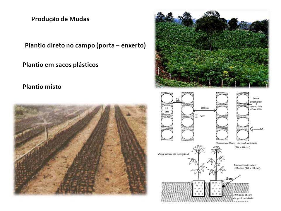 Produção de Mudas Plantio direto no campo (porta – enxerto) Plantio em sacos plásticos Plantio misto