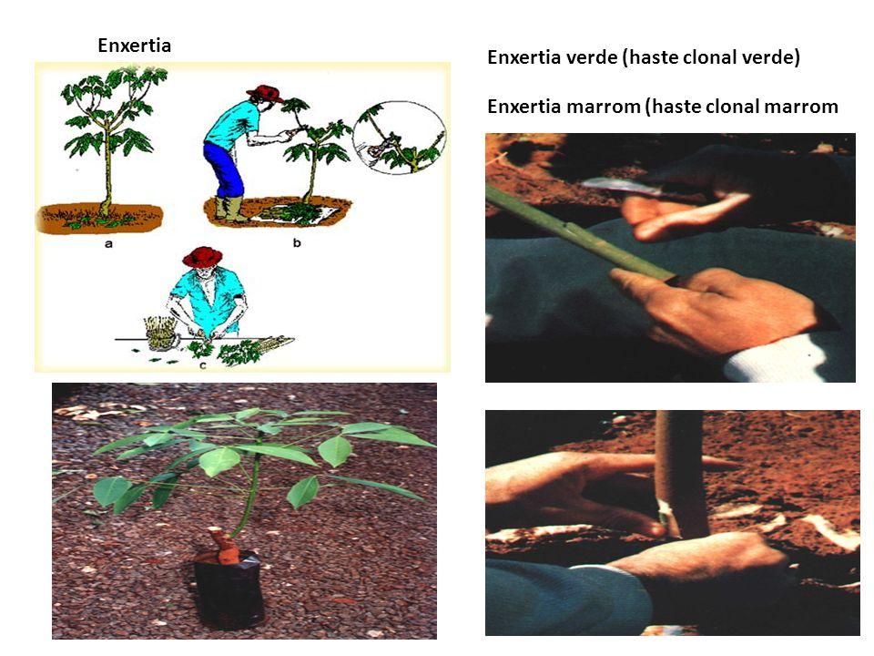 Enxertia Enxertia verde (haste clonal verde) Enxertia marrom (haste clonal marrom