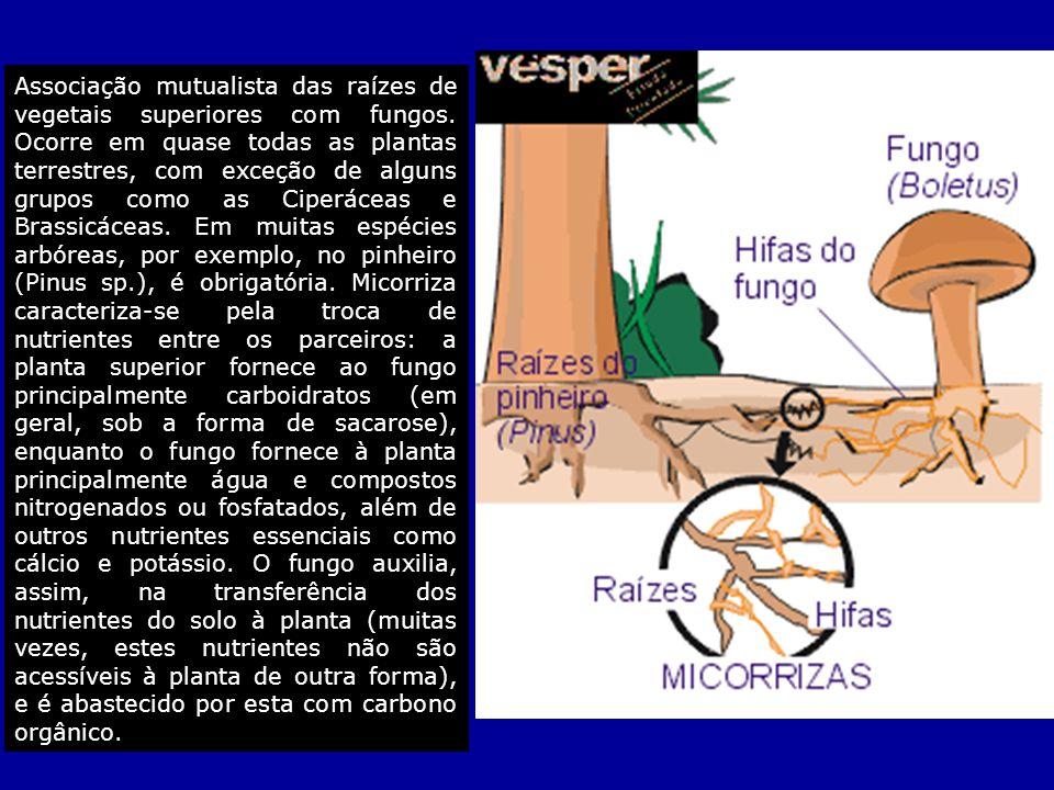 Associação mutualista das raízes de vegetais superiores com fungos. Ocorre em quase todas as plantas terrestres, com exceção de alguns grupos como as