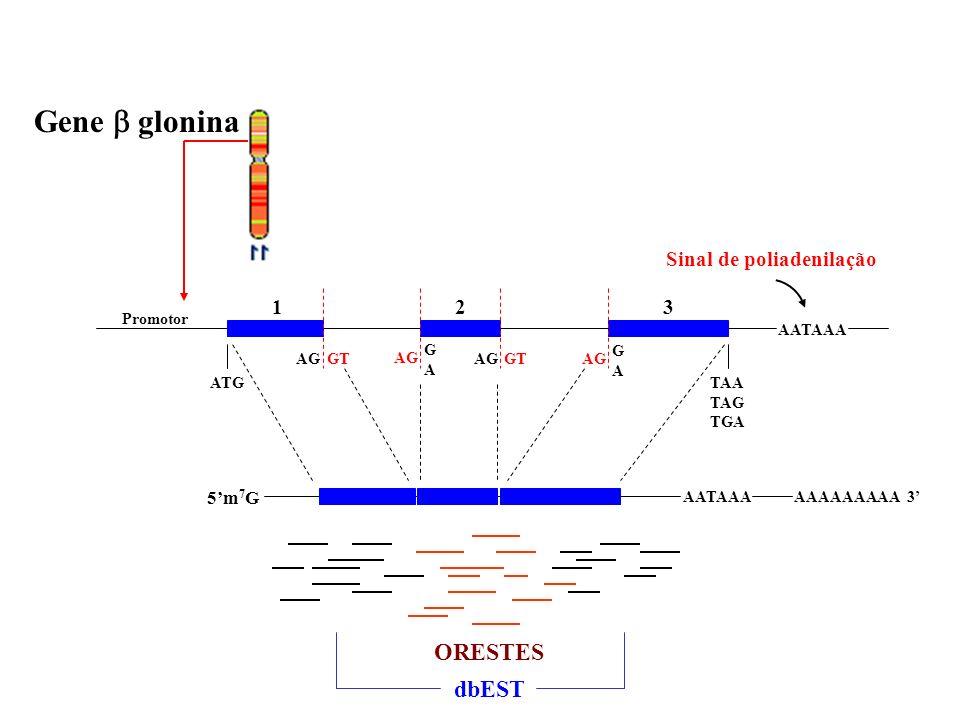 Gene glonina Sinal de poliadenilação GAGA GAGA Promotor AATAAA ATGTAA TAG TGA AGGTAGGTAG 123 AATAAA AAAAAAAAA 3 ORESTES dbEST 5m 7 G