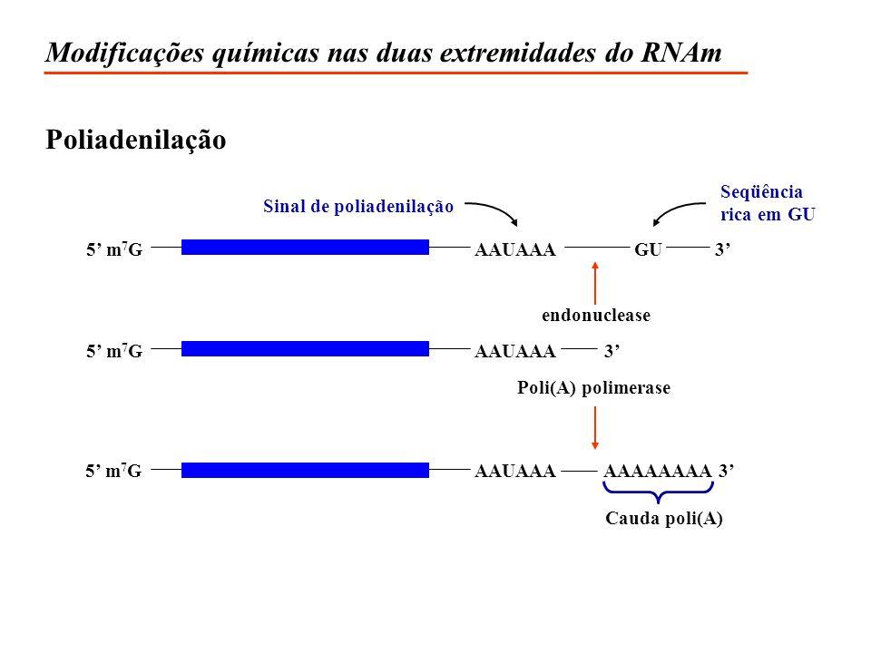 Modificações químicas nas duas extremidades do RNAm Poliadenilação endonuclease Sinal de poliadenilação Seqüência rica em GU Poli(A) polimerase Cauda poli(A) 5 m 7 G AAUAAA3AAAAAAAA 3 5 m 7 G AAUAAA 5 m 7 G AAUAAAGU3