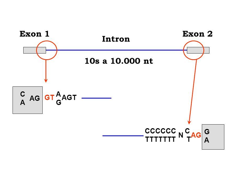 10s a 10.000 ntExon 1Exon 2 Intron CACA AG GT AGT AGAG CCCCCC C TTTTTTT T NAG GAGA