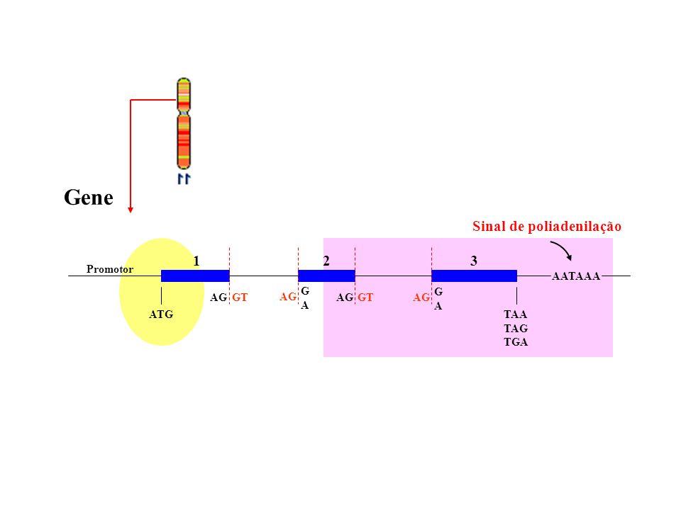 Gene Promotor AATAAA ATGTAA TAG TGA Sinal de poliadenilação AGGTAGGTAG GAGA GAGA 123