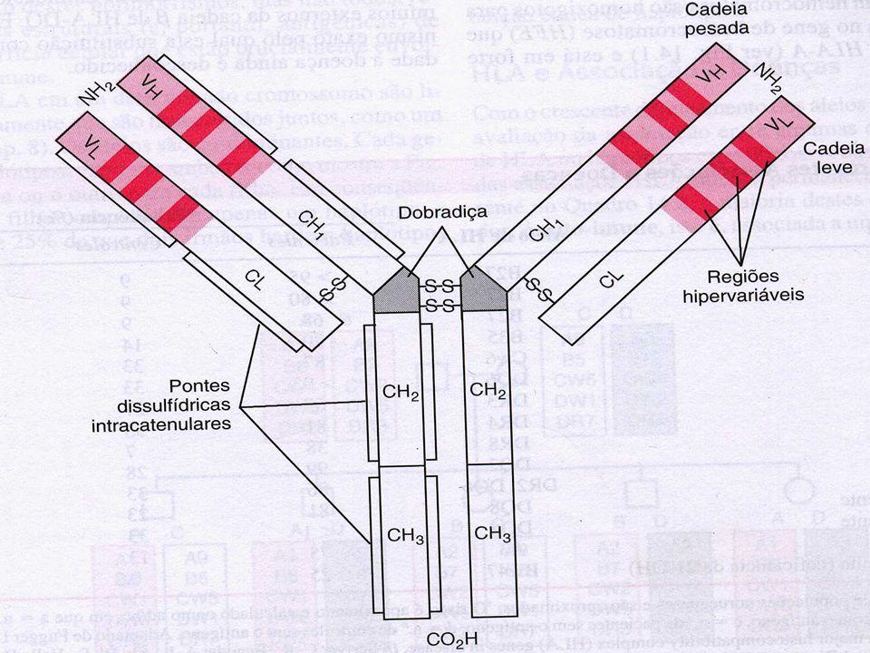 A Base Genética da Diversidade de Anticorpos b Genética das cadeias L: três segmentos gênicos diferentes codificam as cadeias L - C para a reg.C, V para a reg.