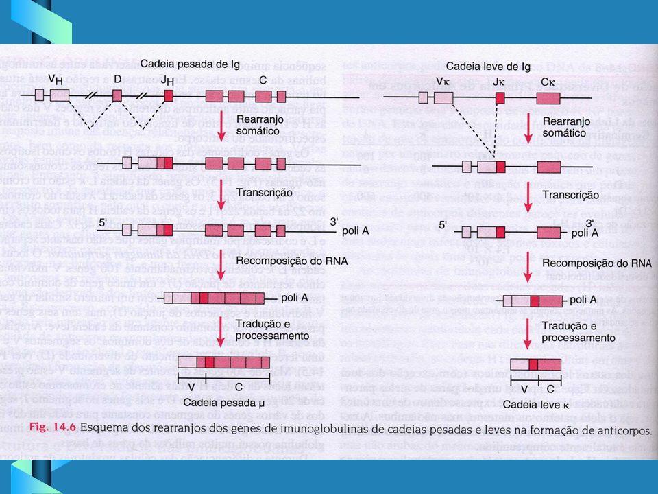 Genética da Síntese de Anticorpos - cont.Genética da Síntese de Anticorpos - cont.