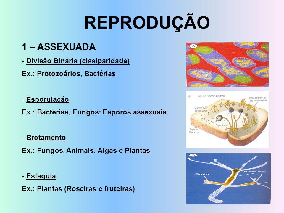 REPRODUÇÃO 1 – ASSEXUADA - Divisão Binária (cissiparidade) Ex.: Protozoários, Bactérias - Esporulação Ex.: Bactérias, Fungos: Esporos assexuais - Brot