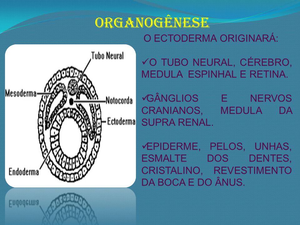 O ECTODERMA ORIGINARÁ: O TUBO NEURAL, CÉREBRO, MEDULA ESPINHAL E RETINA. GÂNGLIOS E NERVOS CRANIANOS, MEDULA DA SUPRA RENAL. EPIDERME, PELOS, UNHAS, E