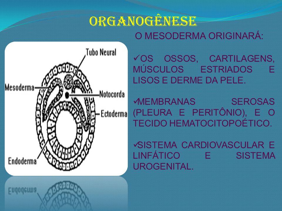 ORGANOGÊNESE O MESODERMA ORIGINARÁ: OS OSSOS, CARTILAGENS, MÚSCULOS ESTRIADOS E LISOS E DERME DA PELE. MEMBRANAS SEROSAS (PLEURA E PERITÔNIO), E O TEC