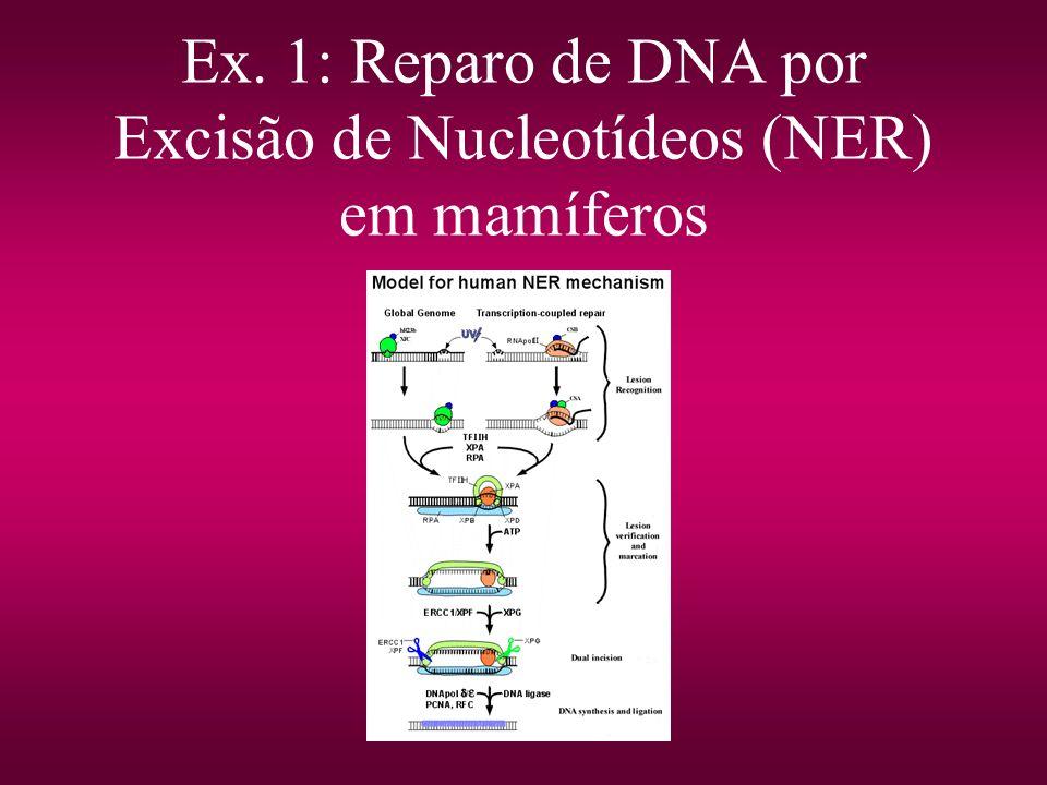 Ex. 1: Reparo de DNA por Excisão de Nucleotídeos (NER) em mamíferos