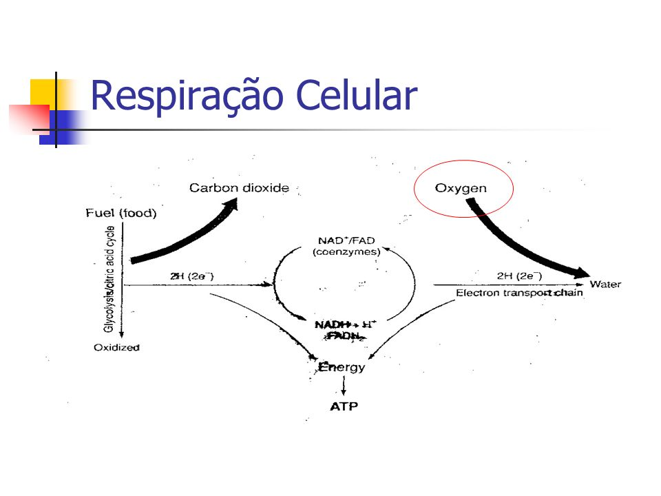 Respiração Celular Transporte de O2 e CO2 Troca de Gases Troca de Gases Circulação Pulmonar Controle da Ventilação