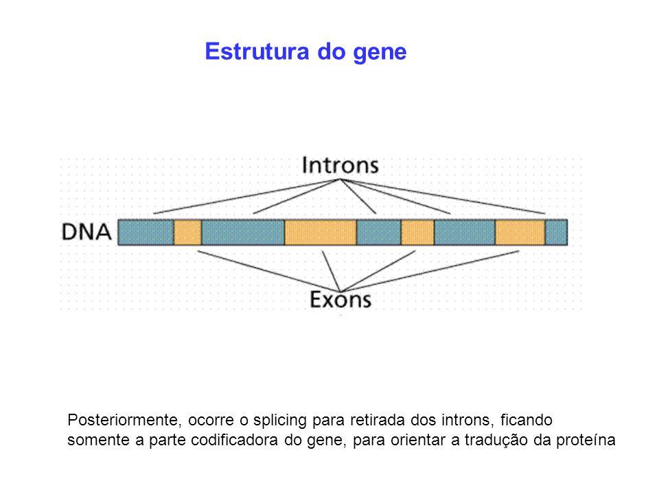 Estrutura do gene Posteriormente, ocorre o splicing para retirada dos introns, ficando somente a parte codificadora do gene, para orientar a tradução