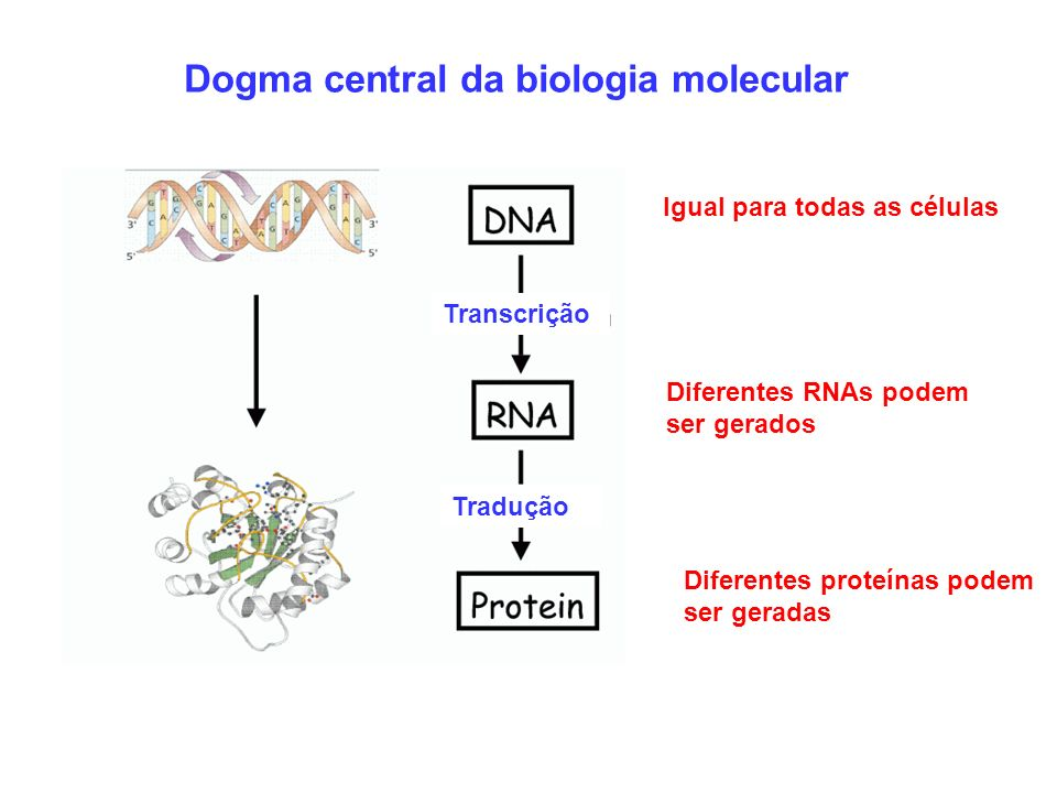 Dogma central da biologia molecular Igual para todas as células Diferentes RNAs podem ser gerados Diferentes proteínas podem ser geradas Transcrição T