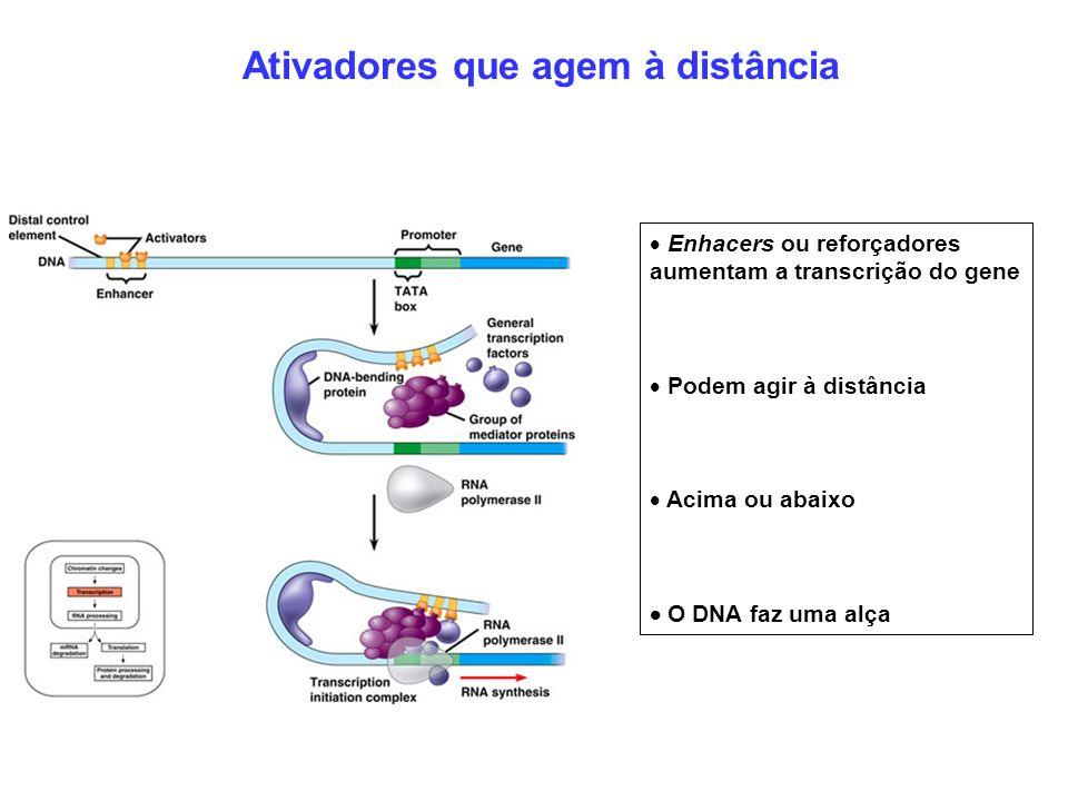 Enhacers ou reforçadores aumentam a transcrição do gene Podem agir à distância Acima ou abaixo O DNA faz uma alça Ativadores que agem à distância